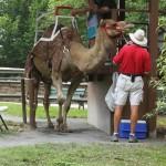 Camel rides anyone?