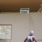 Kelli is convinced the zoo keepers put honey or something else at the top of the wall to get the giraffe to stand there.